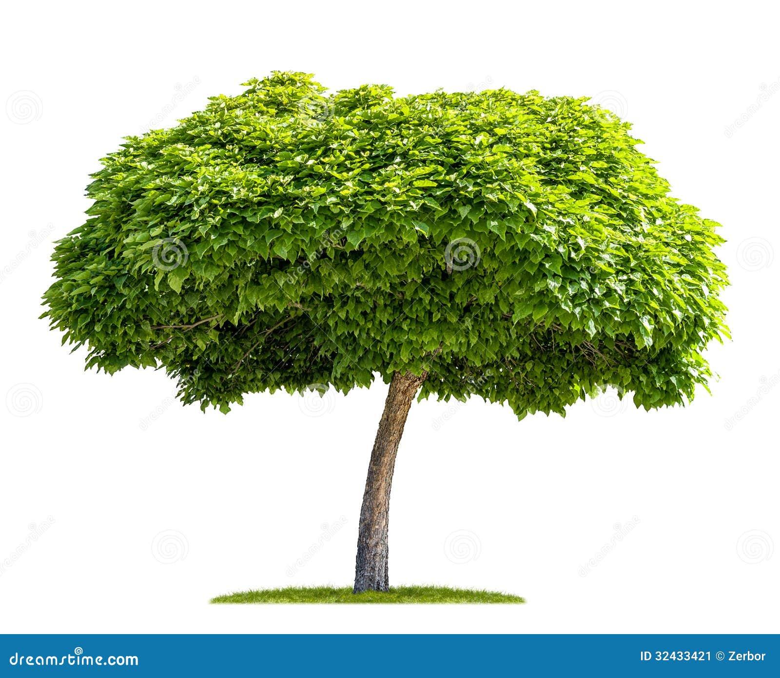isolated catalpa tree stock image image 32433421. Black Bedroom Furniture Sets. Home Design Ideas
