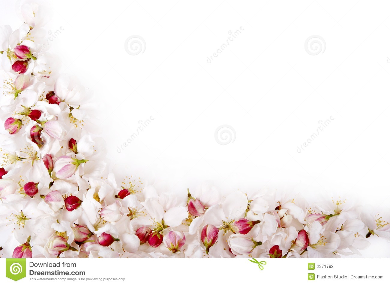 isolated cherry blossom border stock photography image