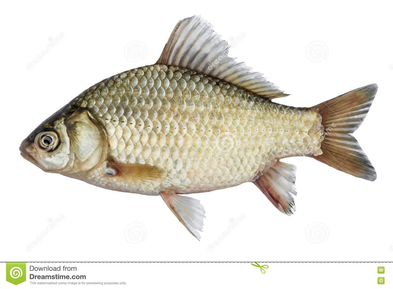 Isolated Crucian Carp, A Kind Of Fish From The Side. Live ...