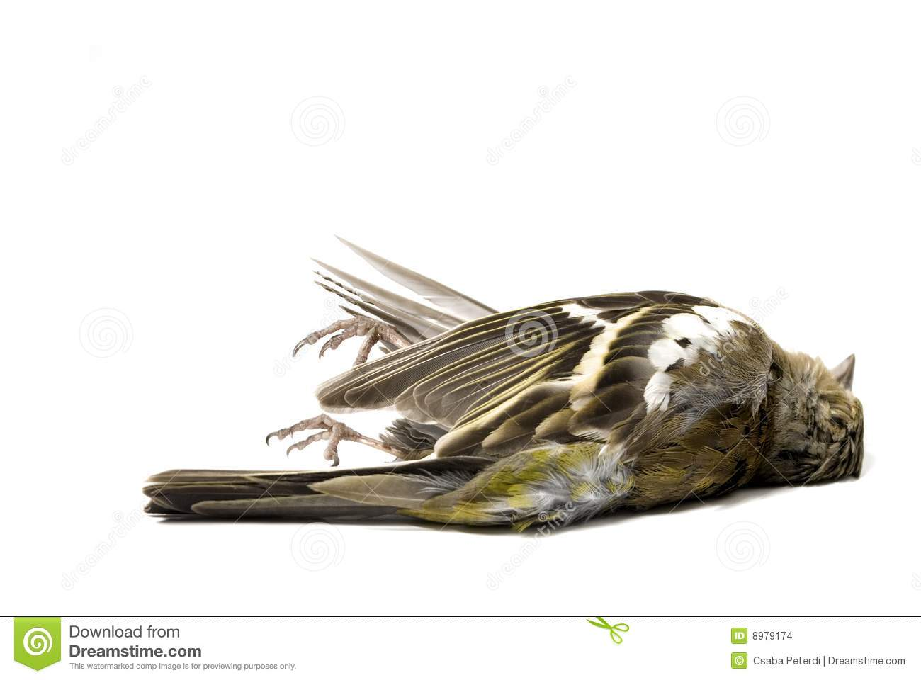 Isolated Dead Bird Stock Images - Image: 8979174