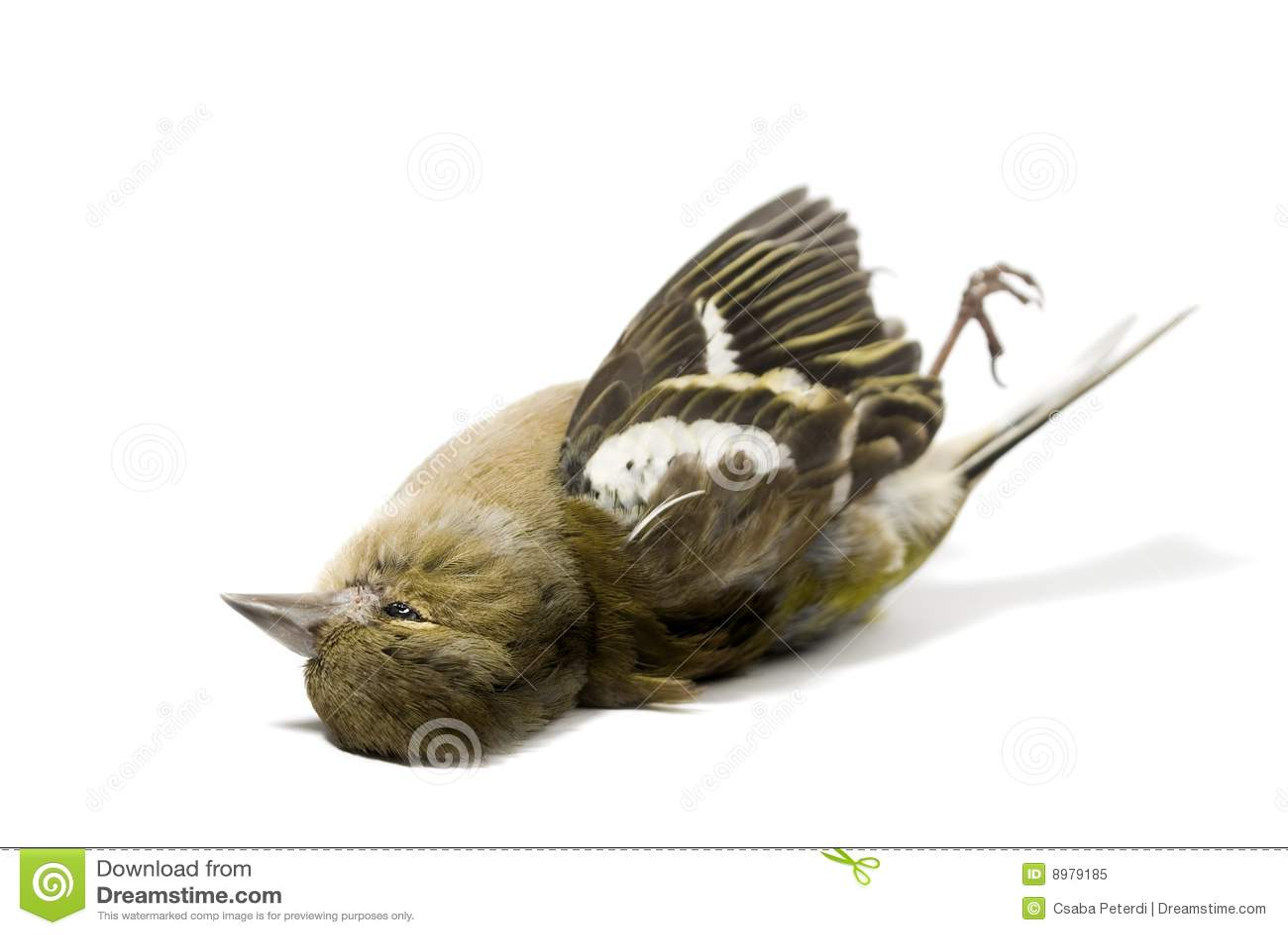 Isolated Dead Bird Roy...