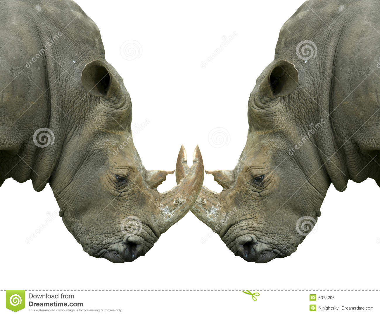 Isolated dueling Rhinos with locked horns