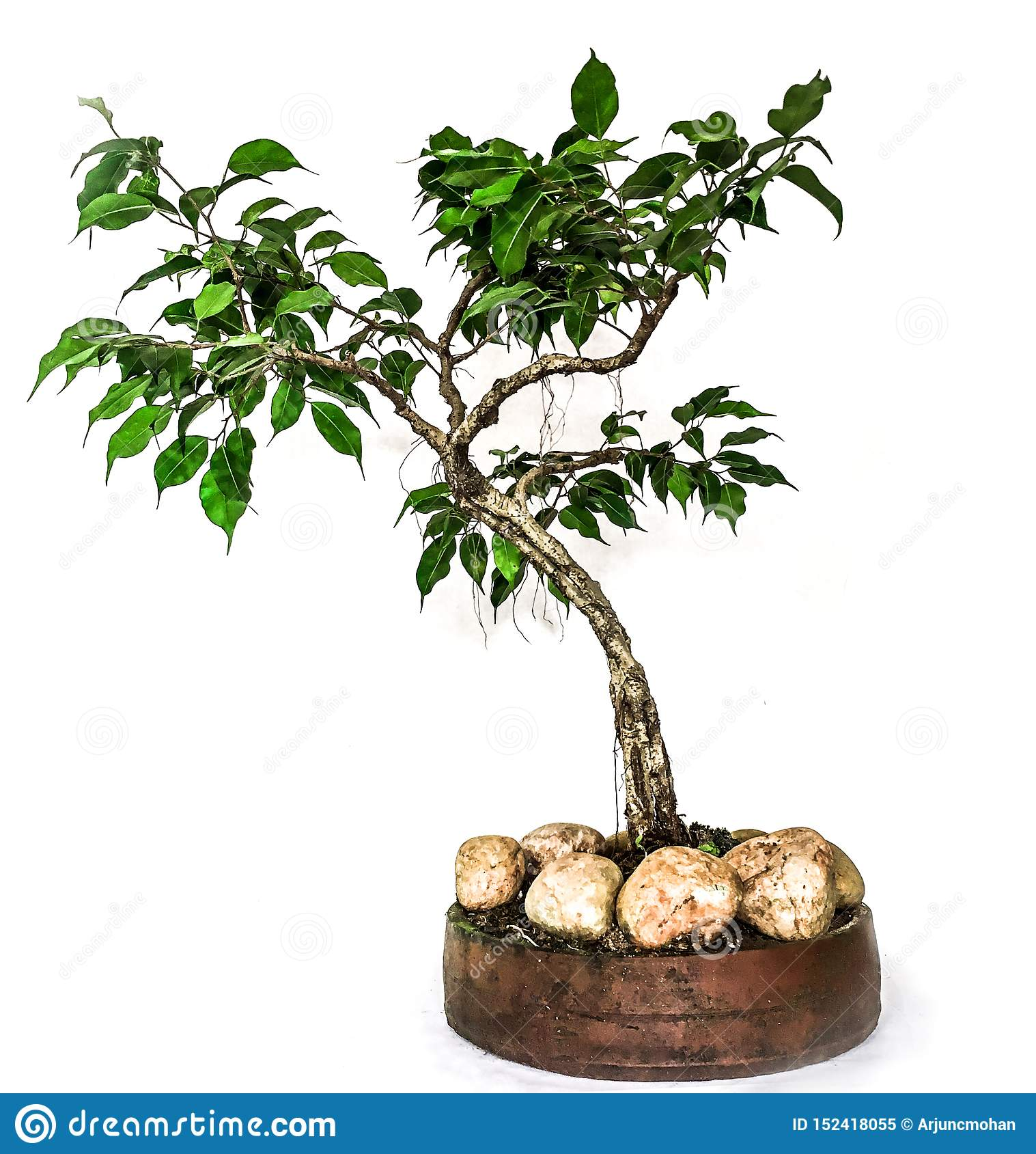 Isolated Bonsai In A Pot On White Background Stock Image Image Of Color Garden 152418055