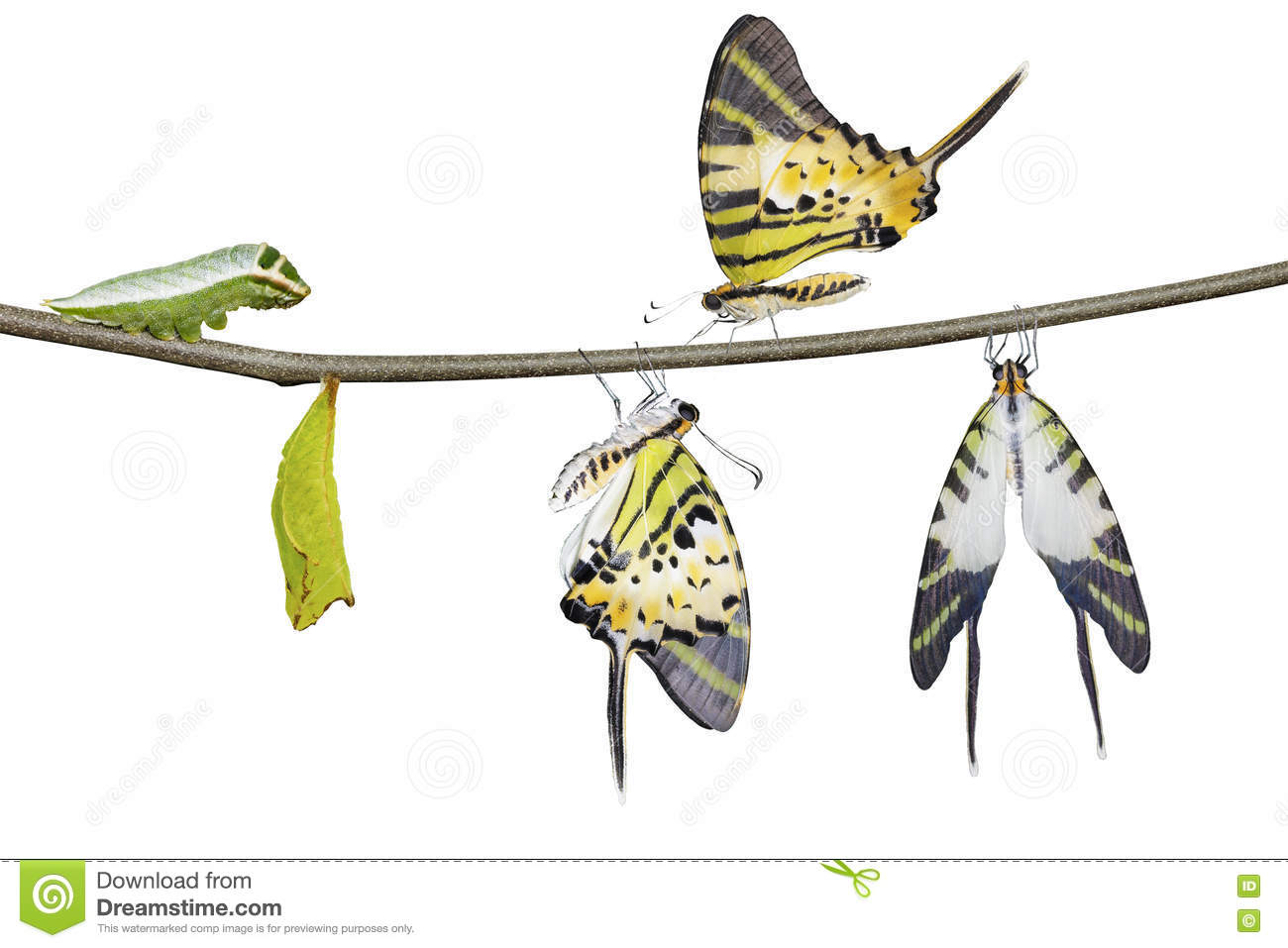 Isolated five bar swordtail butterfly life cycle (antiphates pom