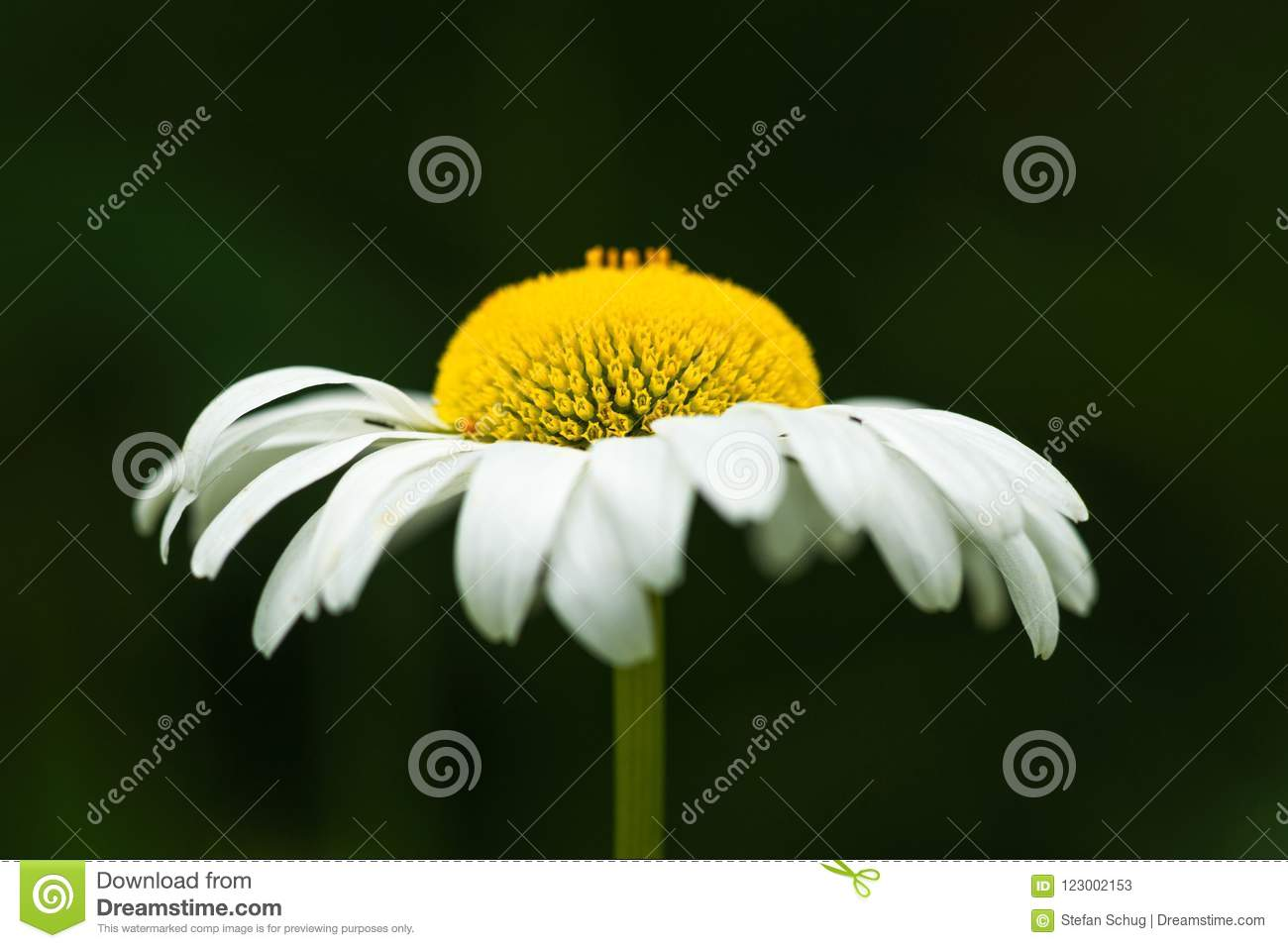 Side view daisy flower stock image image of blossom 123002153 download side view daisy flower stock image image of blossom 123002153 izmirmasajfo