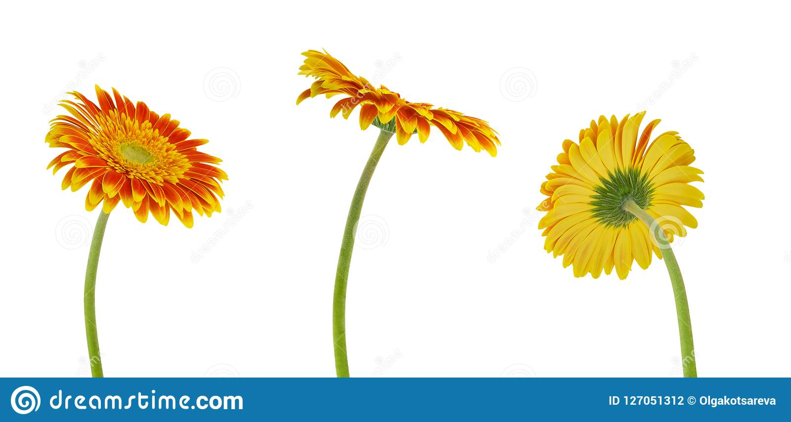 Three colorful beautiful gerbera flower isolated on white background with clipping path