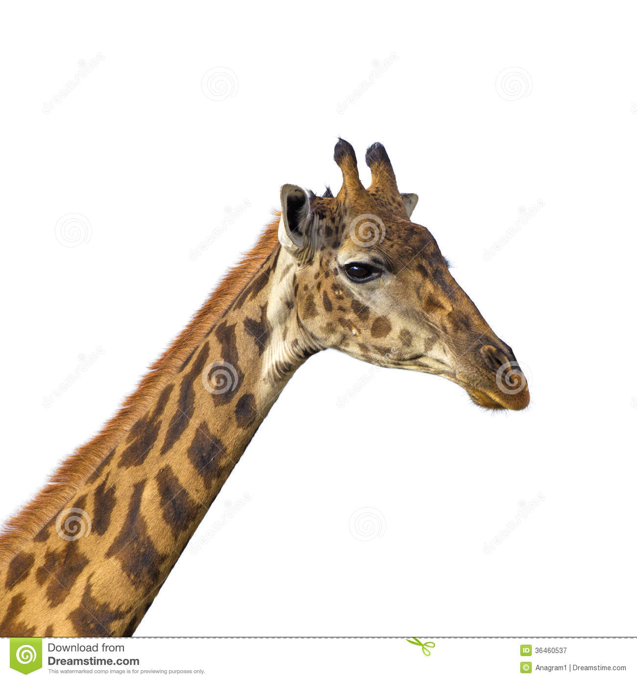 giraffe head white background - photo #24
