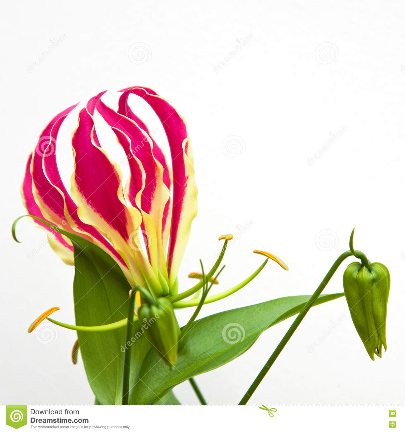 Isolated gloriosa superba flower stock photo image of blooming isolated gloriosa superba flower izmirmasajfo