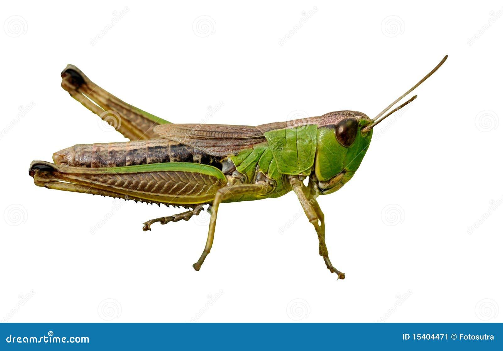 Isolated green grasshopper closeup