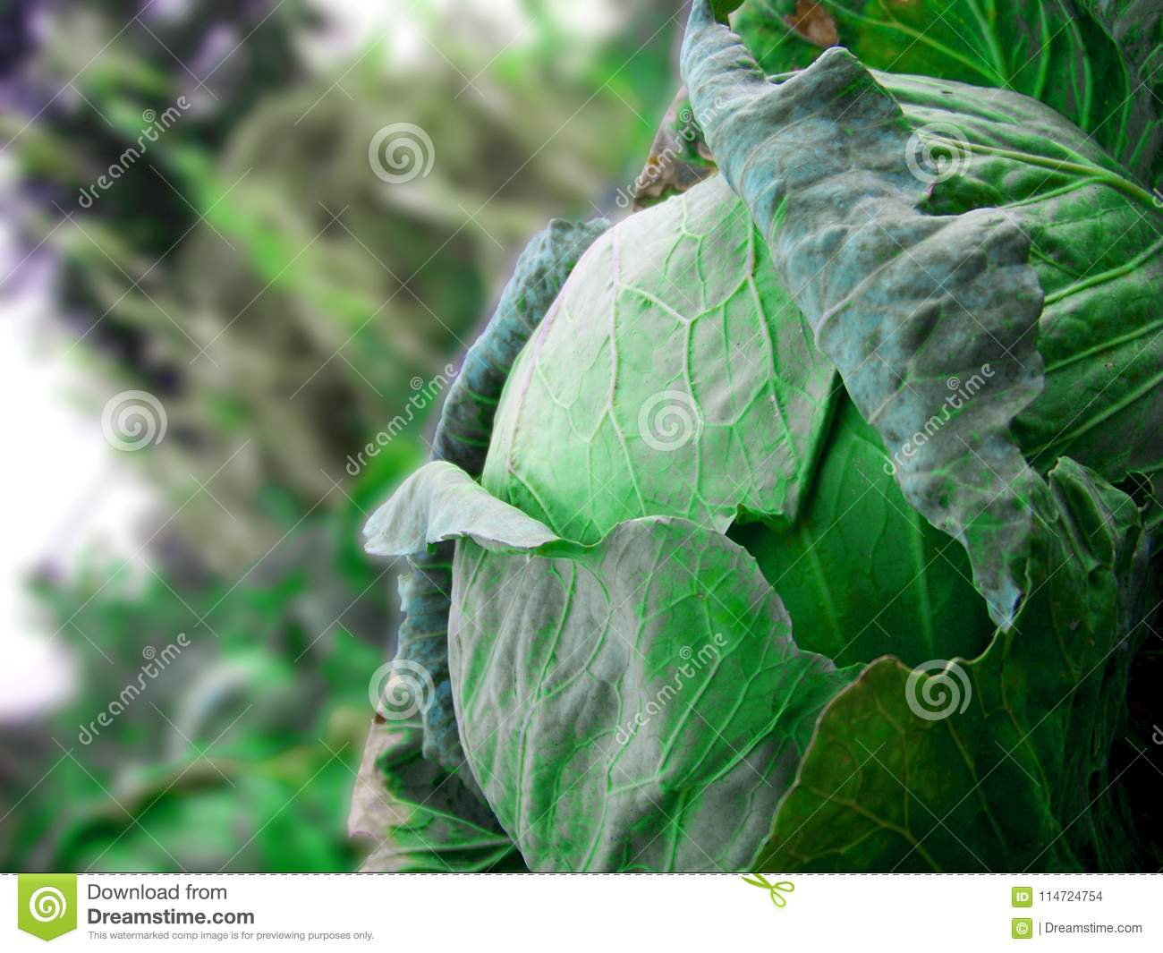 A full green mature cabbage in the garden with corns in the background.