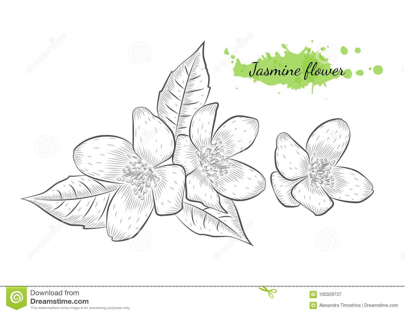 Isolated Hand Drawn Vector Illustration Of Jasmine Flower Stock