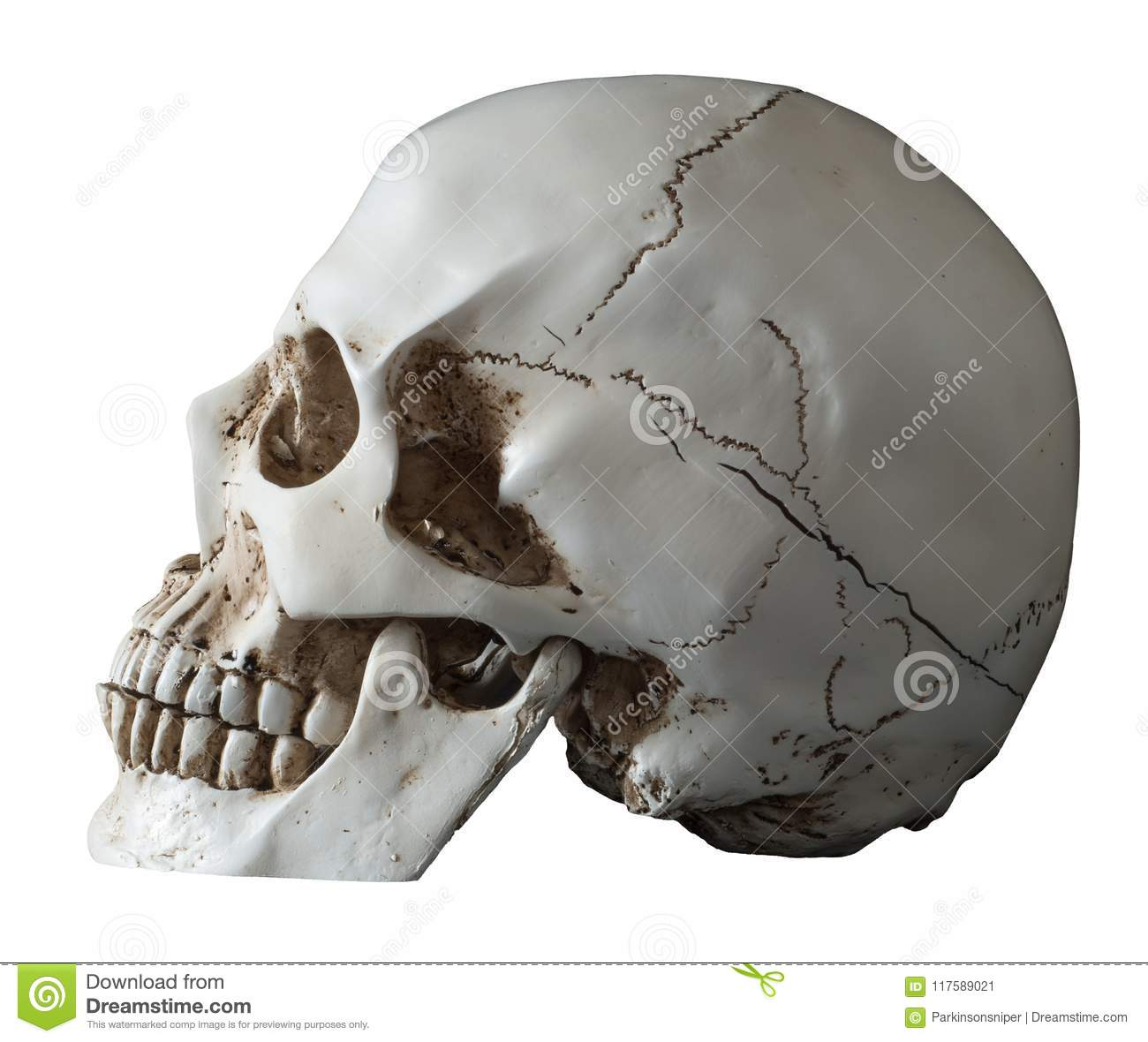 Isolated Human Skull Lateral View Stock Image Image Of Quarters