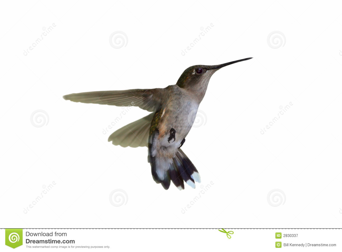 Isolated Hummingbird