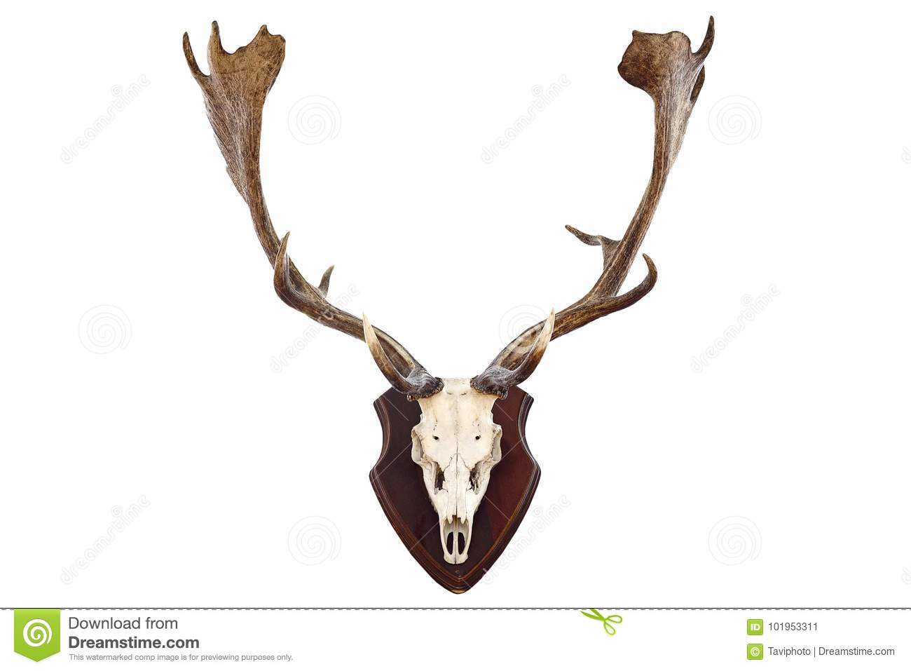 Isolated Hunting Trophy Of A Fallow Deer Buck Stock Image - Image of ...