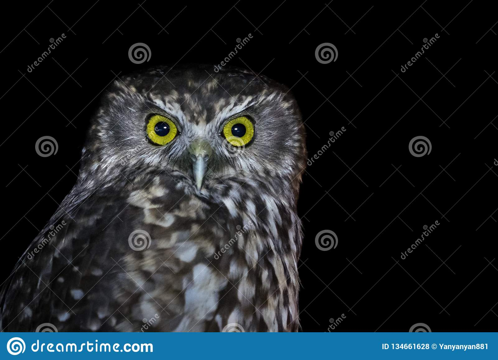 Isolated intense Owl staring into the camera