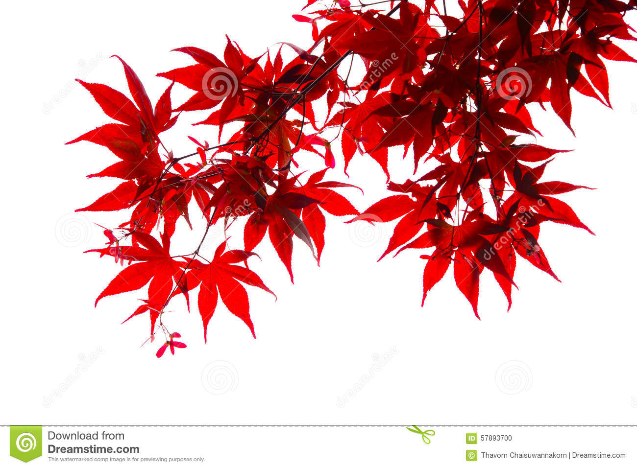 Download Isolated Japanese Red Maple Leaf Stock Photo - Image of japan, autumn: 57893700