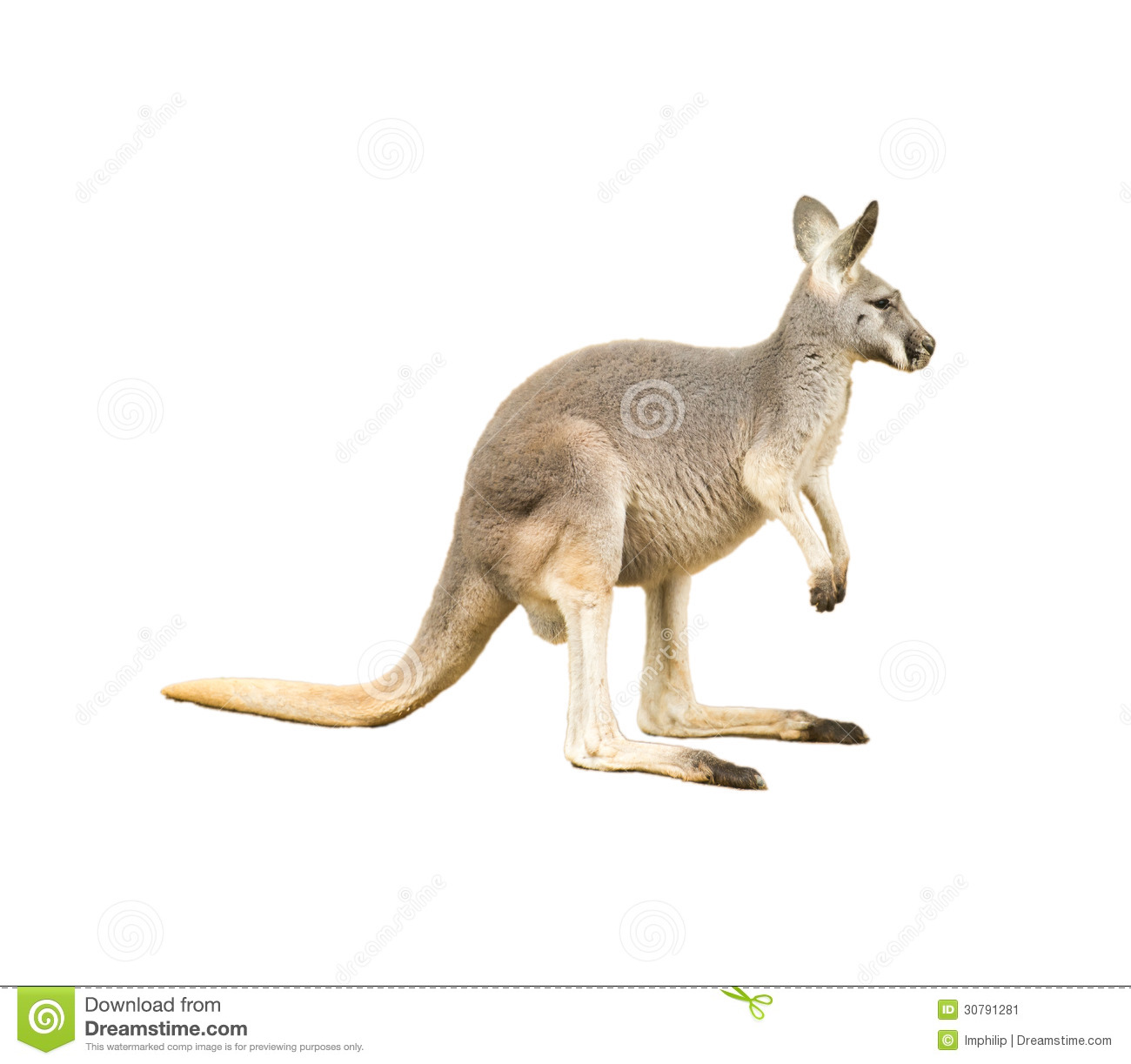 Isolated Kangaroo Stock Image - Image: 30791281