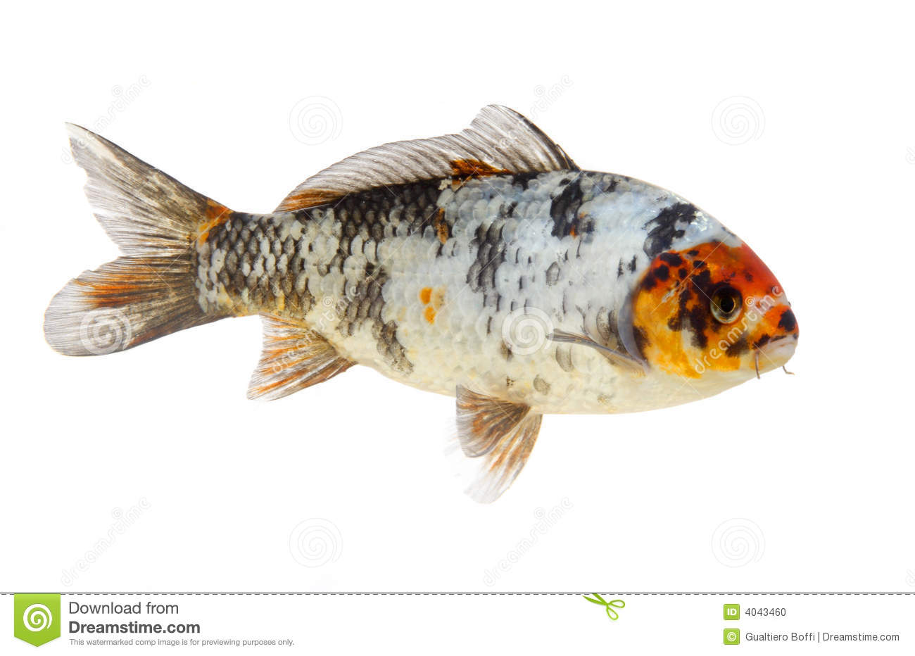 Isolated koi fish stock photo image 4043460 for Koi meaning in english