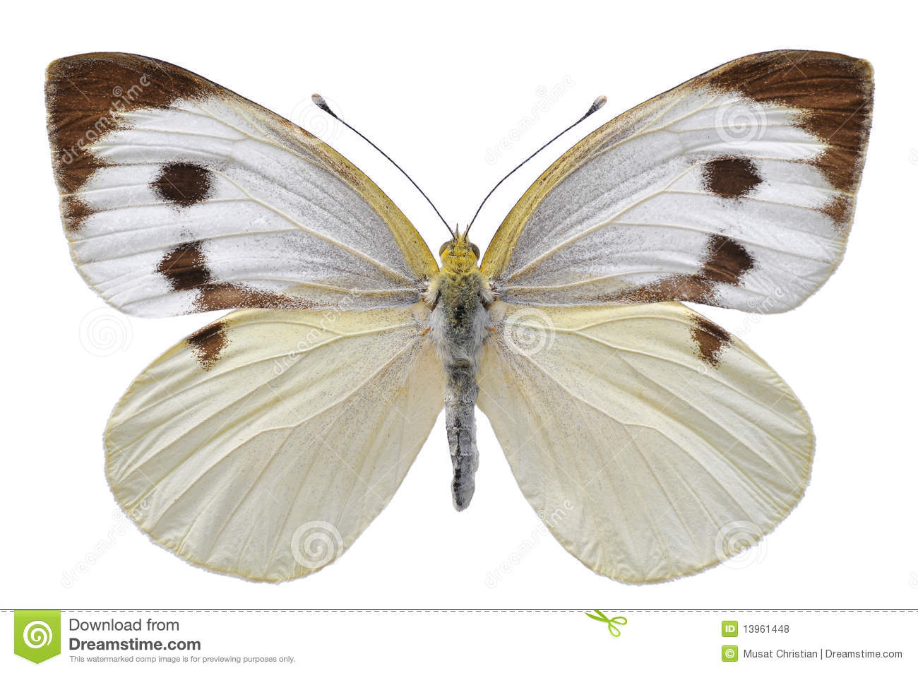 Isolated Large White butterfly