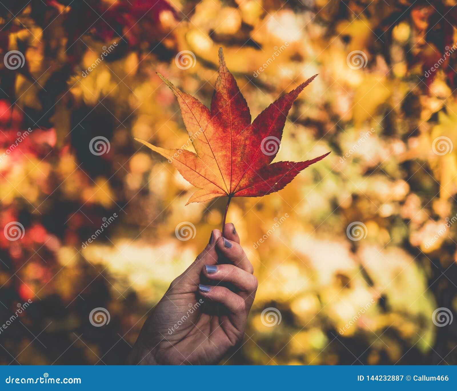 Isolated leaf maple