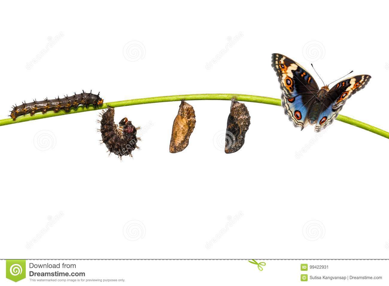 Isolated life cycle of blue pansy butterfly Junonia orithya Li