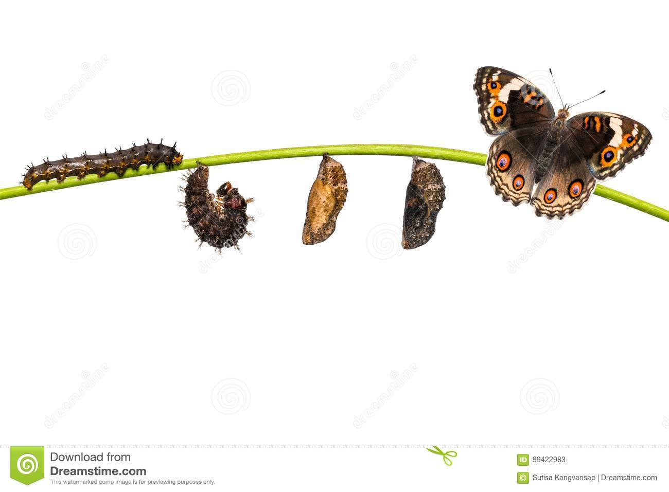 Isolated life cycle of female blue pansy butterfly Junonia ori