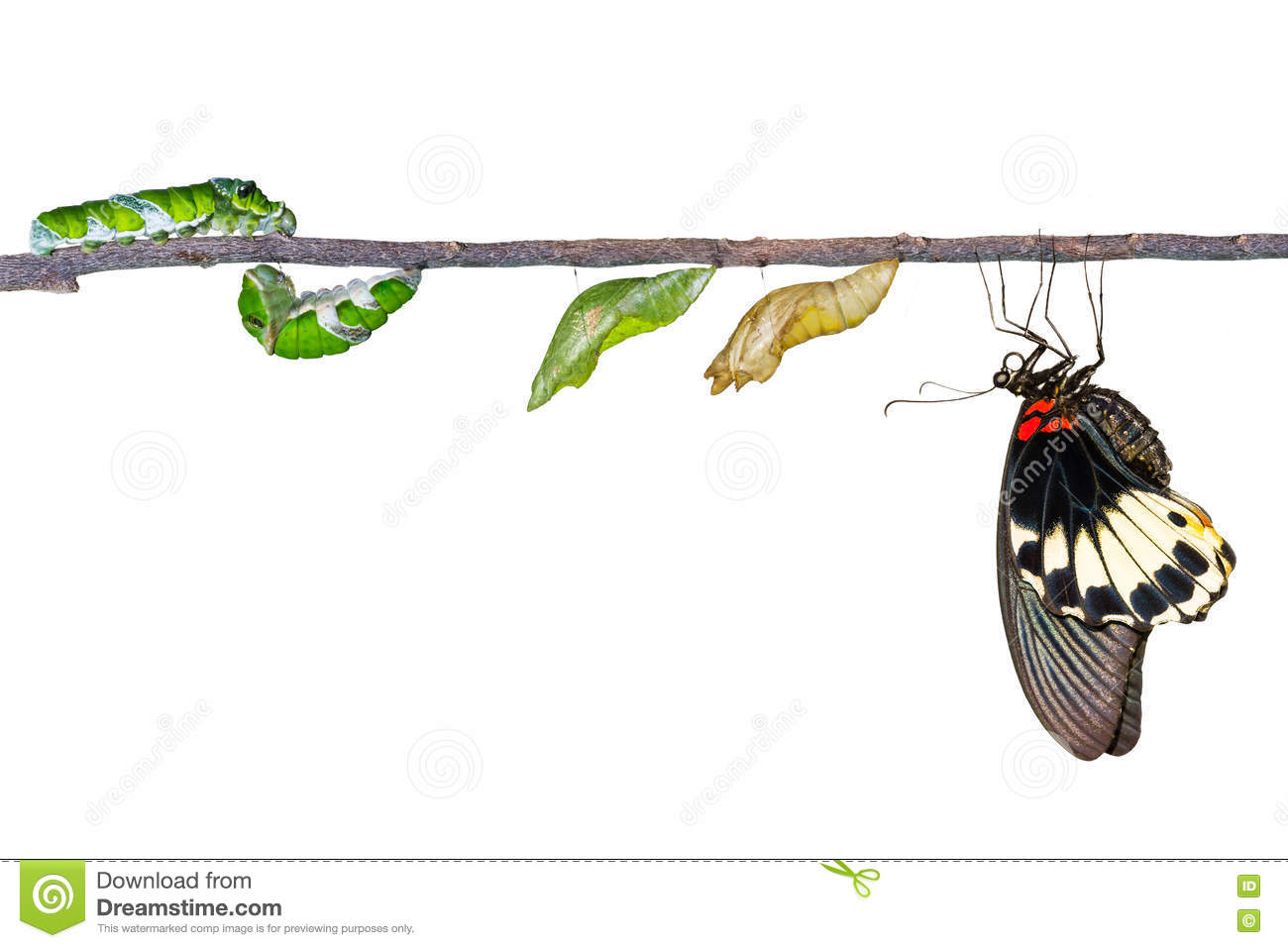 Isolated life cycle of female great mormon butterfly from caterp