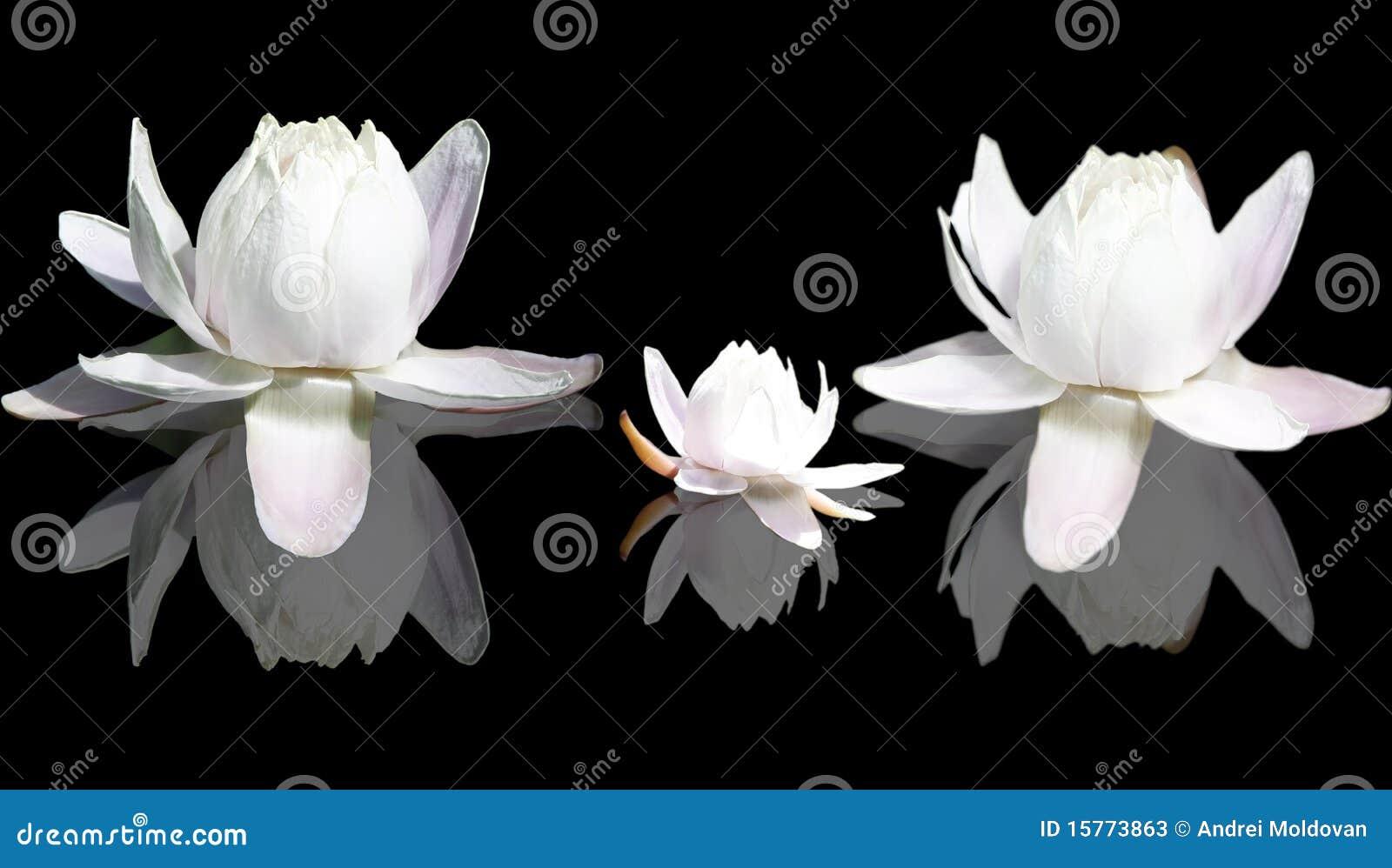 Isolated Lotus flowers