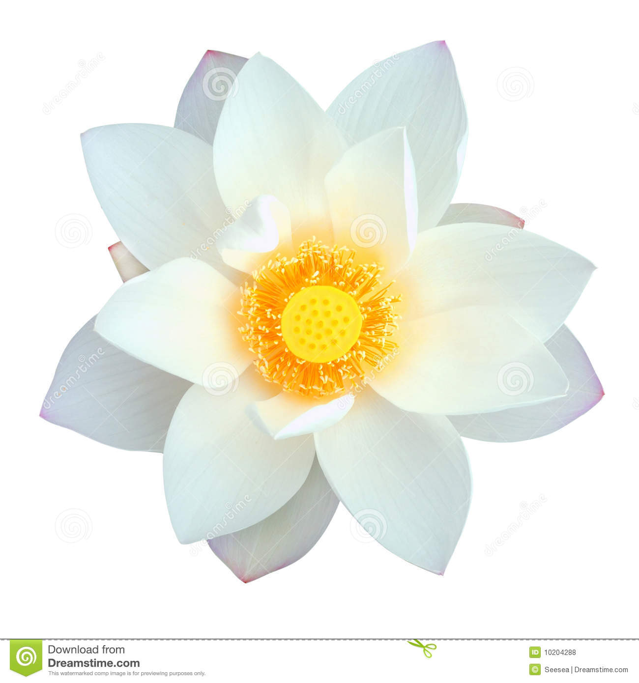 Isolated Lotus With Path Stock Photo Image Of Flower 10204288