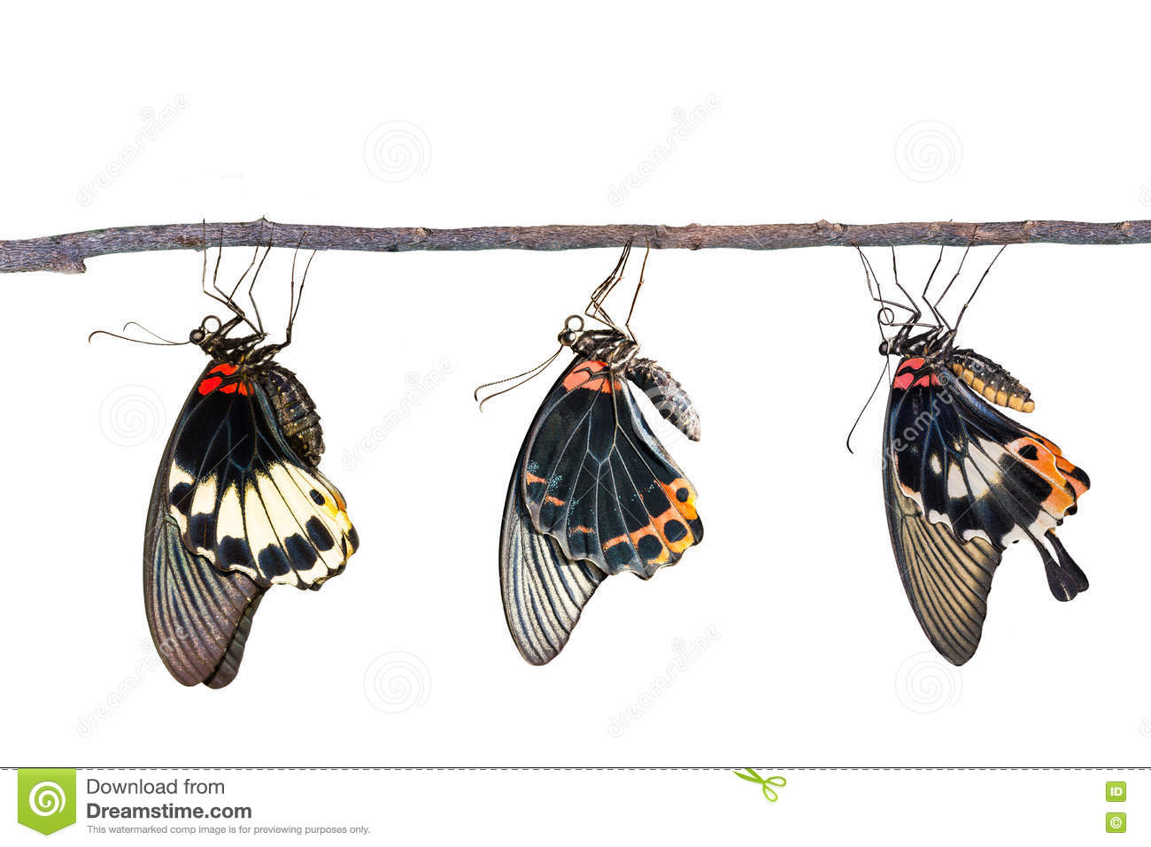 Isolated male and female great mormon butterfly