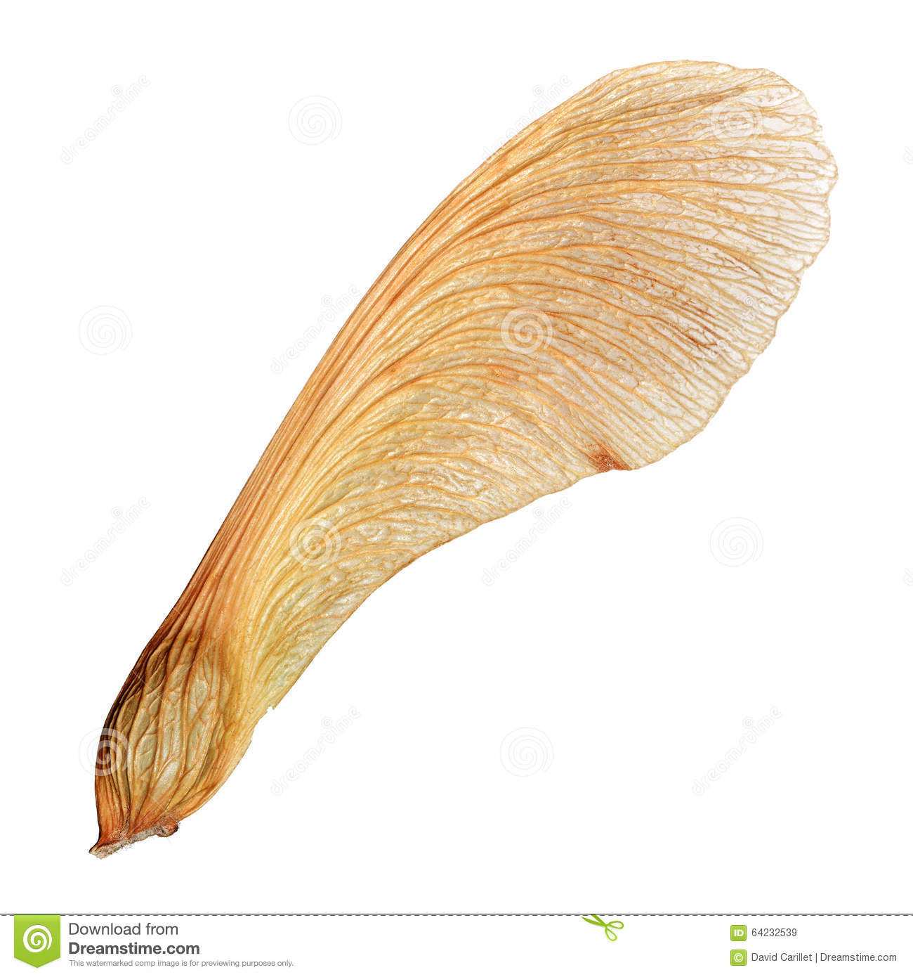 Isolated Maple Seed Closeup Macro With High Detail Stock Image