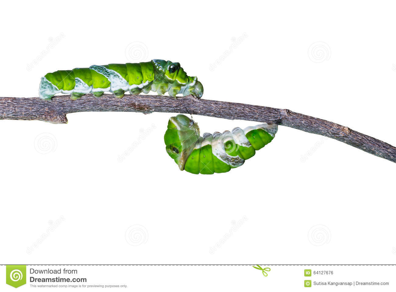 Isolated mature caterpillars of great mormon butterfly hanging a