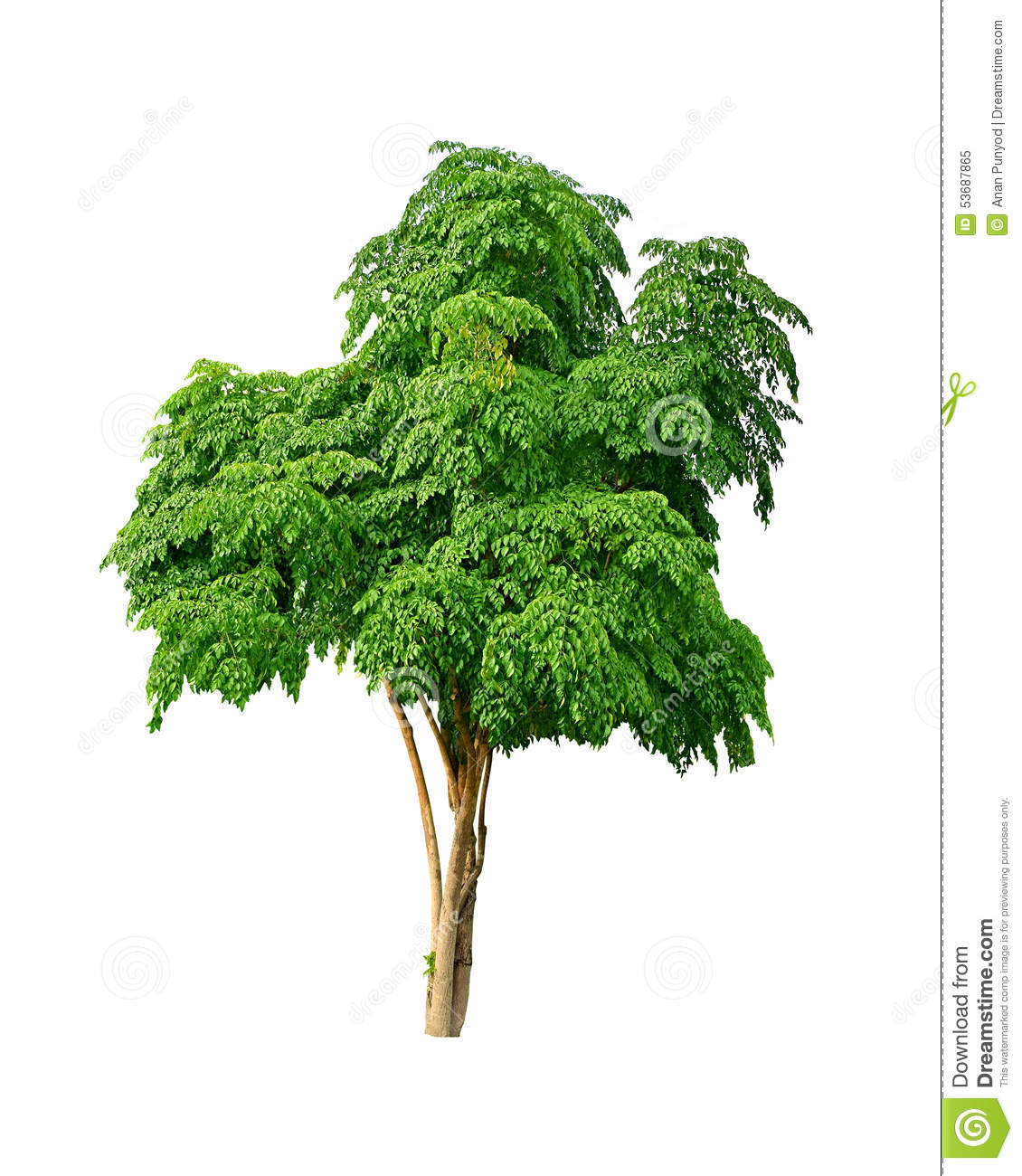 Isolated Neem Tree On A White Background (Die Cutting ...
