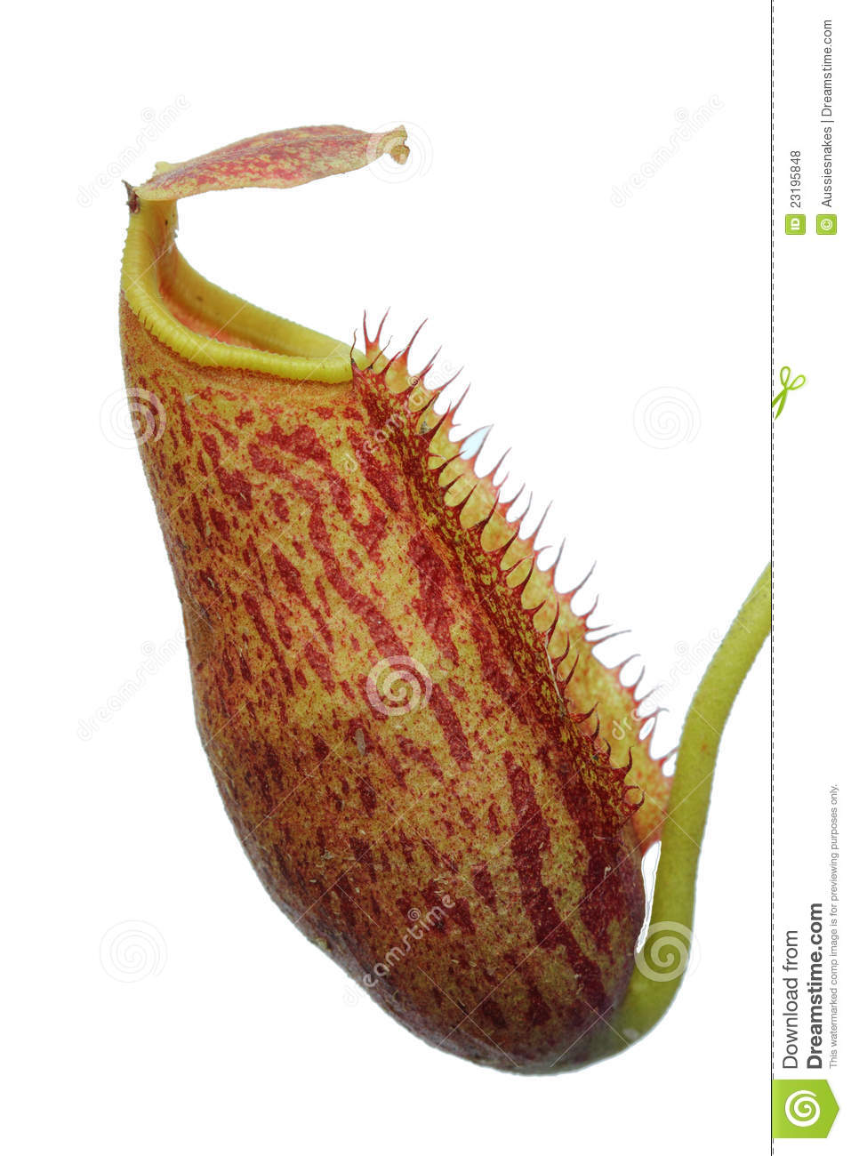 Isolated Nepenthes (pitcher plant)