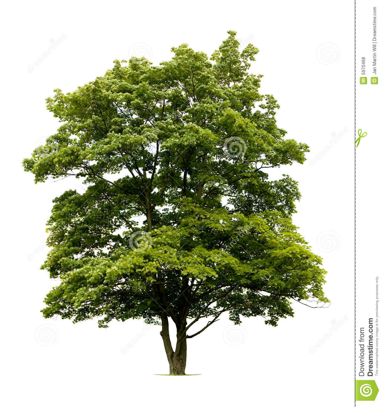 Isolated Norway Maple Tree