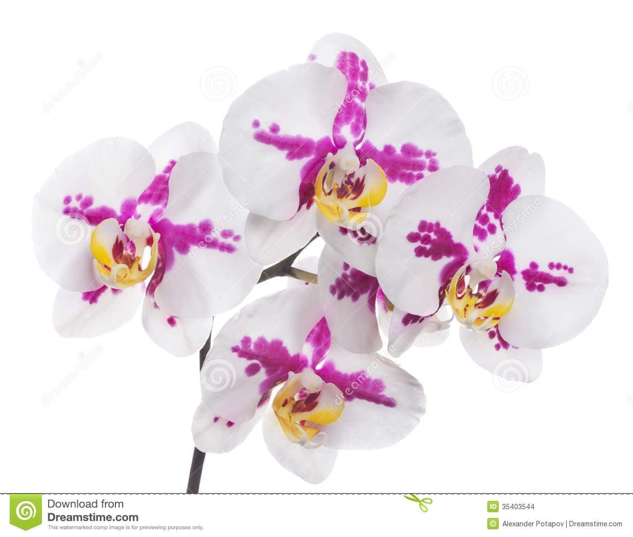 White Orchid Water Pink: Isolated Orchids With Large Pink Spots Stock Images