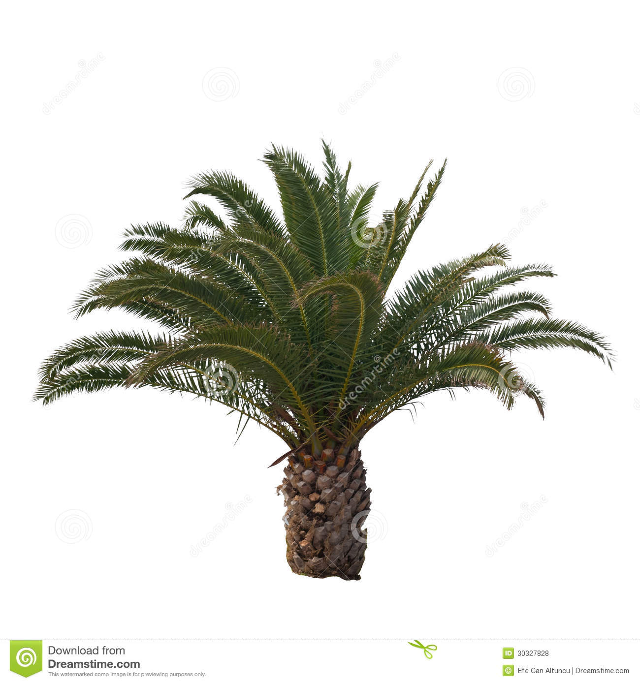 Isolated palm tree stock photo image of raffia for Short trees