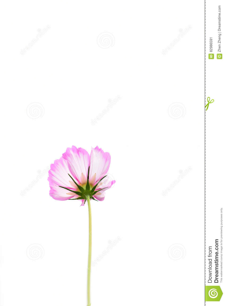 Isolated Pink Cosmos Flower With White Background Stock Image