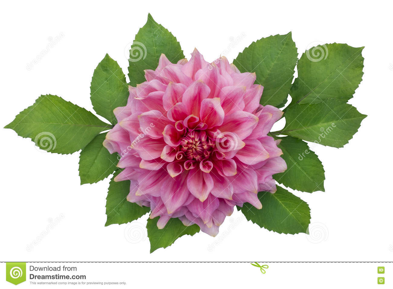 Green dahlia flower isolated pink dahlia flower with leaves stock image izmirmasajfo