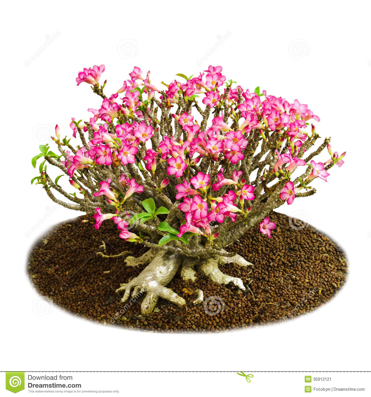 Isolated Pink Flowers Desert Rose Or Impala Lily Stock
