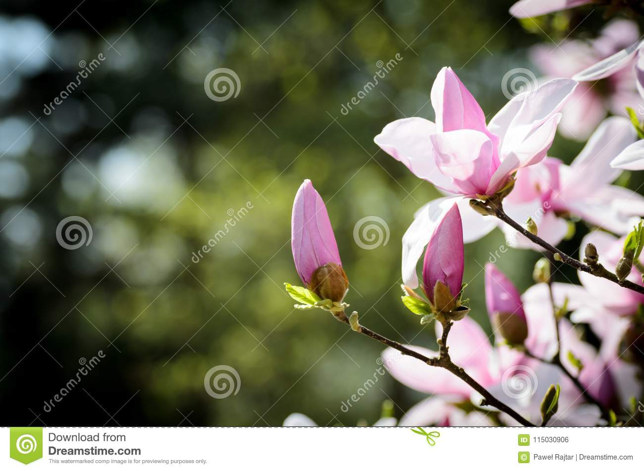 Isolated pink magnolia flowers in the spring morning beauty of royalty free stock photo izmirmasajfo