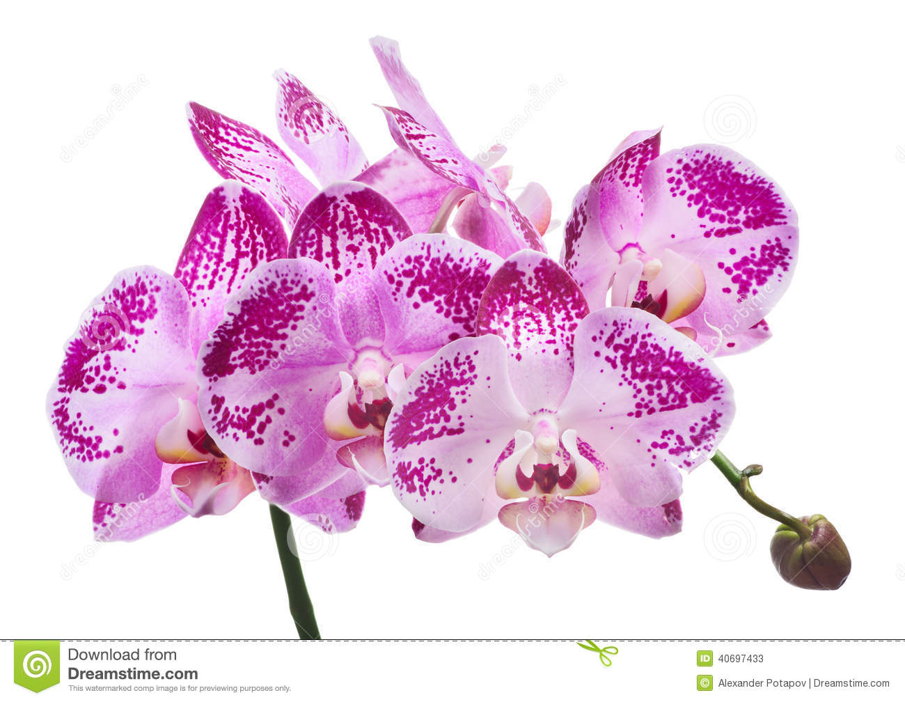white spotted orchid flower - photo #9