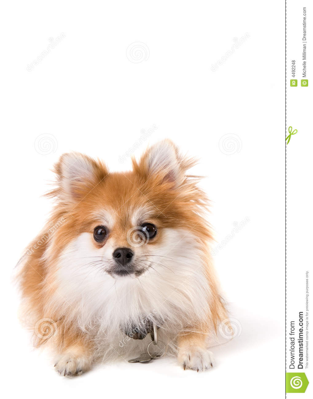 pomeranian collar isolated pomeranian stock photo image of brown collar 9494