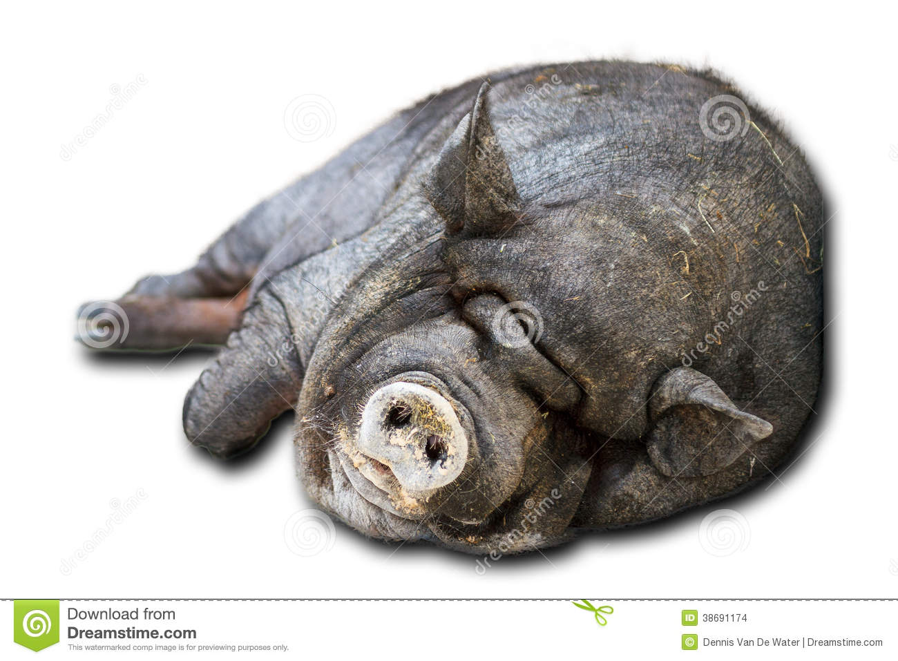 Isolated pot-bellied pig