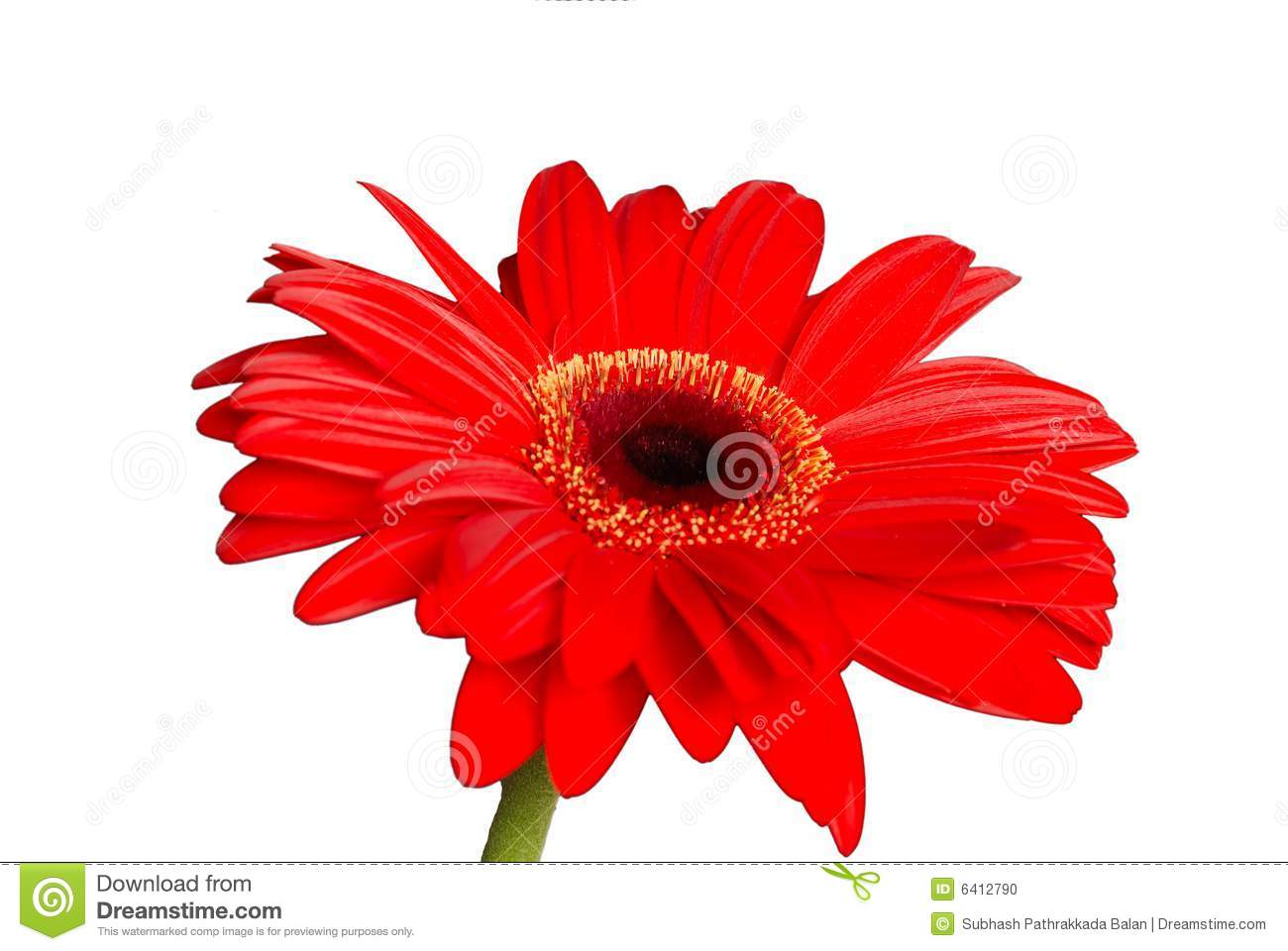 Isolated red daisy flower stock photo image of nature 6412790 download isolated red daisy flower stock photo image of nature 6412790 izmirmasajfo