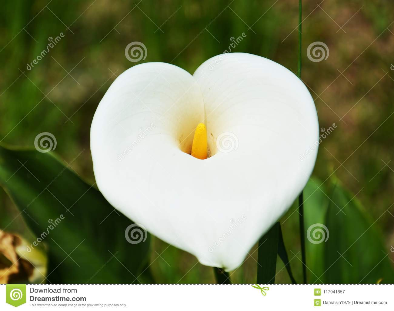 Arum Calla Variety Of Lily Against Green Background Stock Image
