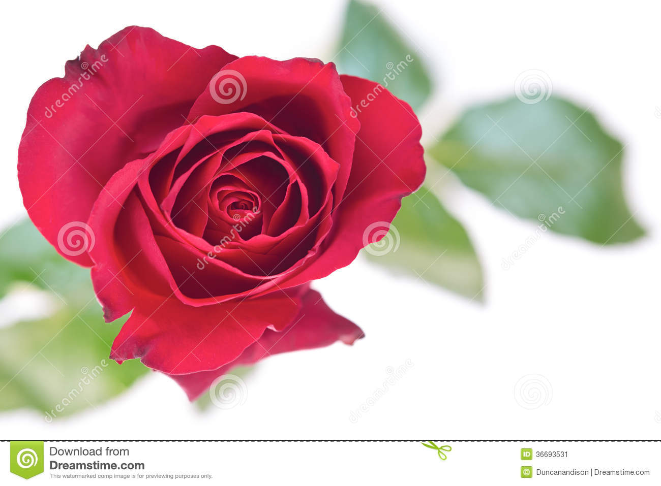 Isolated Rose