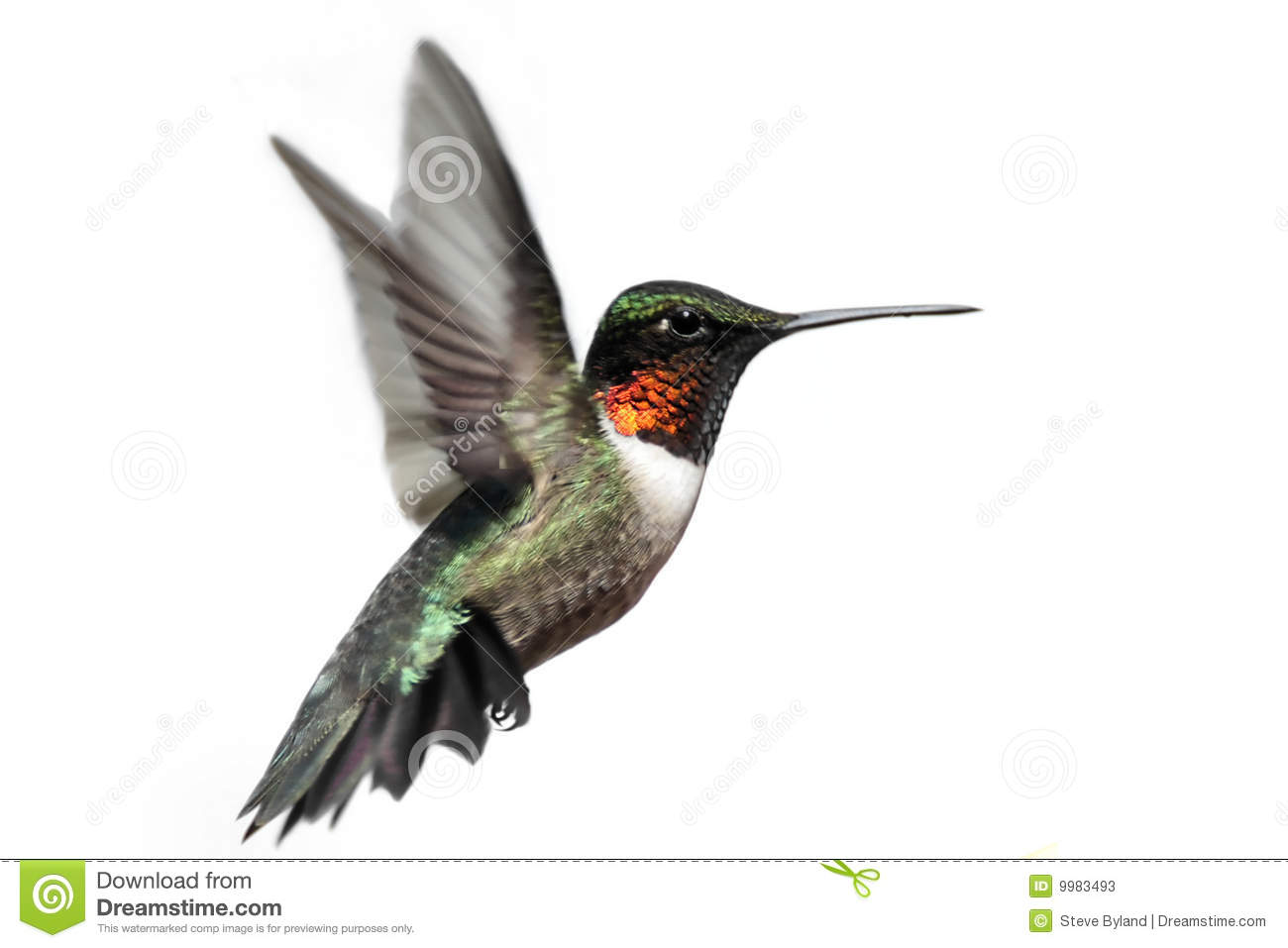 Male Ruby-throated Hummingbird (archilochus colubris) in flight ...
