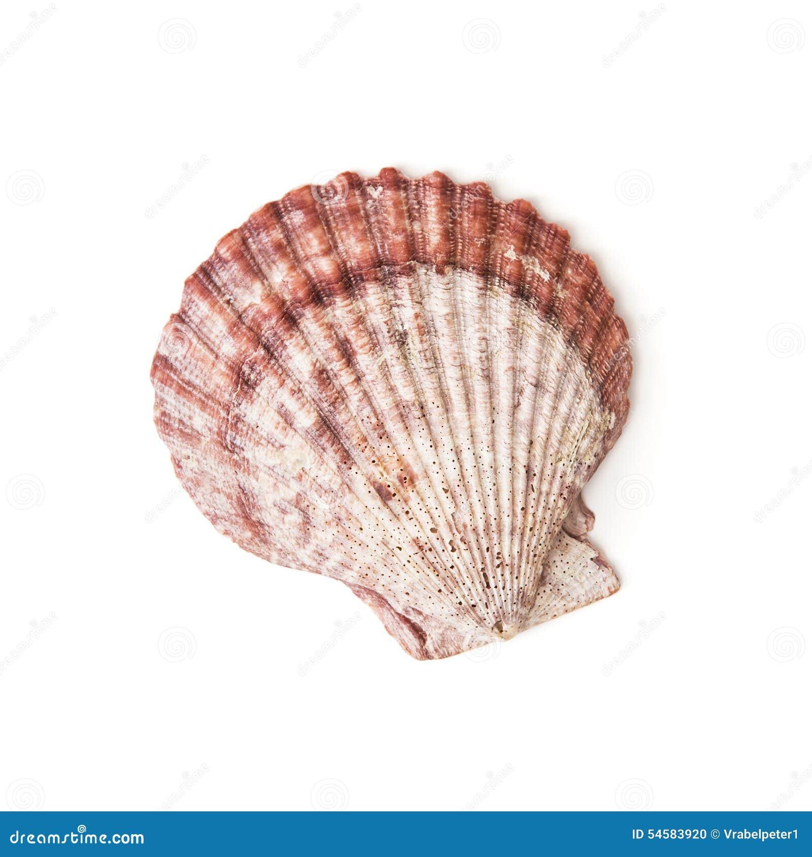 Isolated sea shell