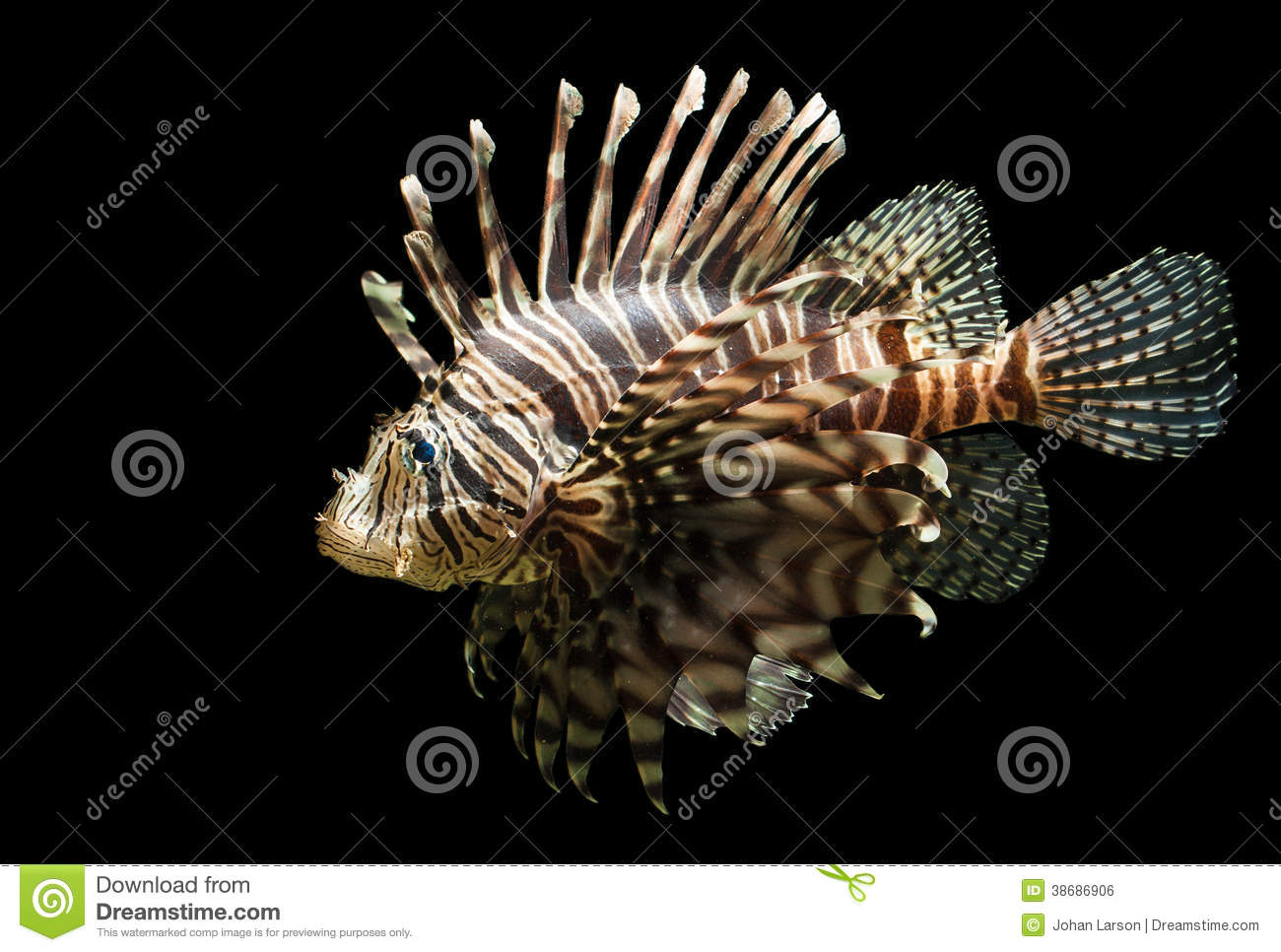 Isolated Shot Of A Lion Fish Royalty Free Stock Image